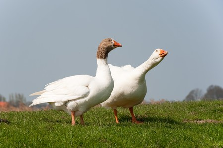 Couple gooses in Dutch landscape near the river