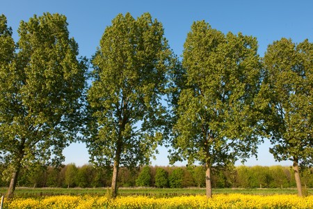 cole: Row of trees in yellow cole seed landscape Stock Photo
