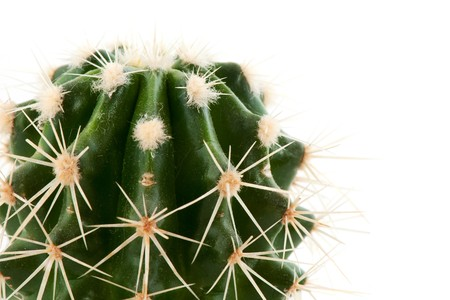 with spines: Prickly cactus in green with sharp spines over white