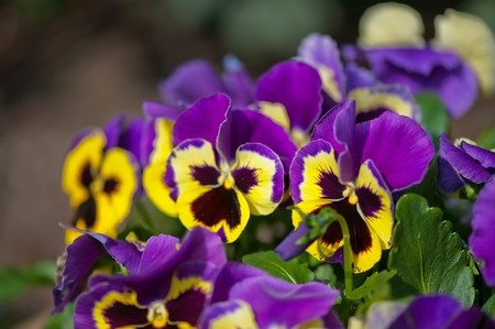 Violet and yellow multicolor Pansies outdoor in nature photo