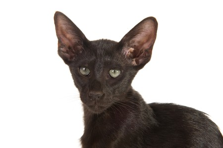 Black Siamese breed cat isolated over white photo