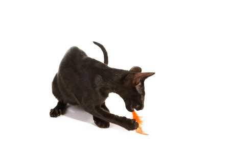 Black Siamese breed cat playing with a feather photo