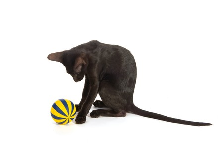 Black Siamese cat playing with striped toy ball photo