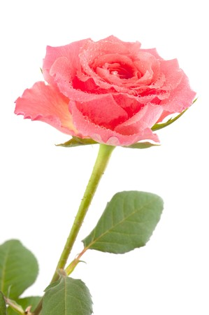 close up of a beautiful pink rose with water drops Stock Photo - 7030876