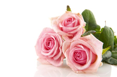 Three pink roses with water drops isolated over white photo