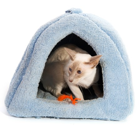 blue siamese cat: Siamese cat in blue basket isolated over white