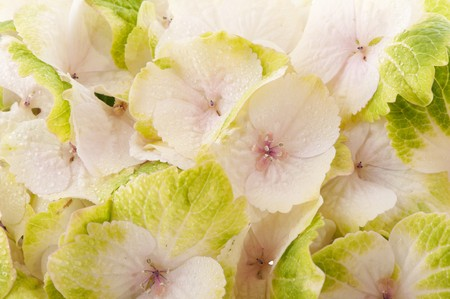 white nature Hydrangea background with water drops photo