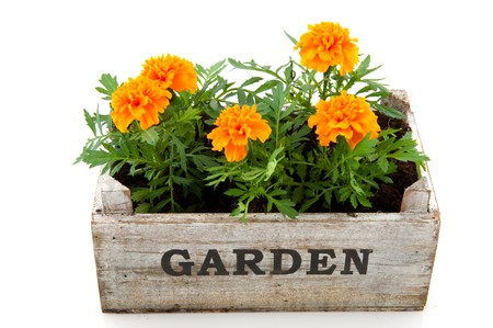 Orange Tagetes in garden crate isolated over white photo