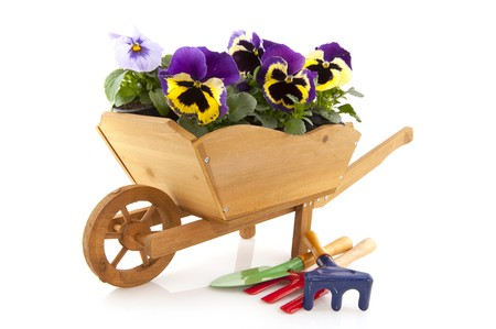 Purple violins in wooden wheel barrow isolated over white Stock Photo - 7088426
