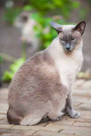 blue siamese cat: Blue point siamese cat outdoor in the garden Stock Photo