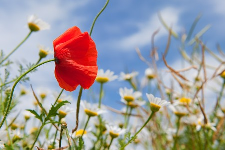 Red single poppy in landscape with wild flowers Stock Photo