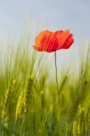 Single red poppie in agriculture grain field  photo