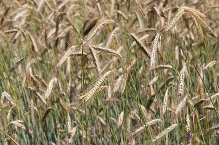 grain fields: grain fields filled and useble as a background Stock Photo
