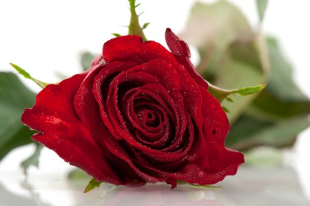 Beautiful single red rose isolated iver white Stock Photo