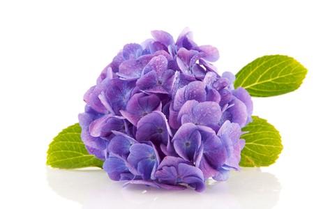 hydrangea flower: blue Hydrangea from the garden isolated over white