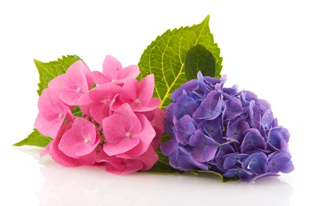 hydrangea flower: Pink and blue Hydrangea from the garden isolated over white