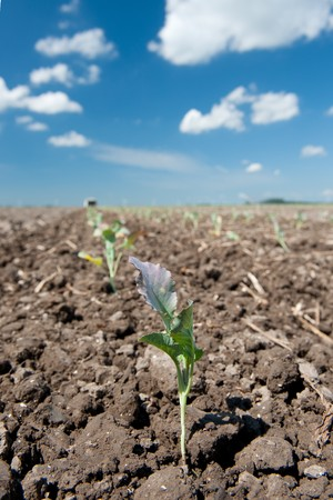 Young cauliflower plants are set in the agriculture fields Stock Photo - 7541573