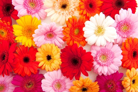 Many colorful Gerber in red yellow and pink as background Stock Photo - 7541748