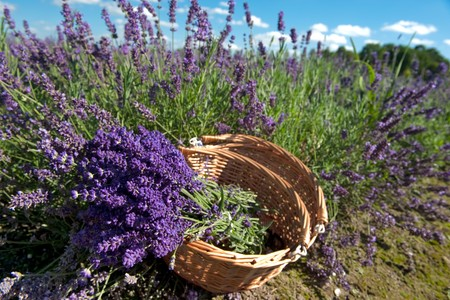 Picking Lavender in the fields and collect them in a cane basket photo
