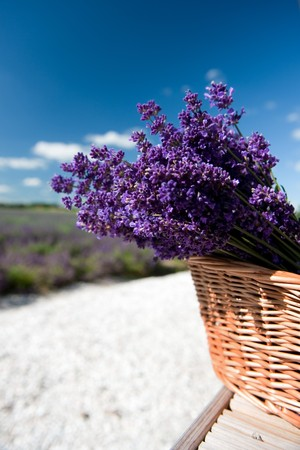 Picking Lavender in the fields and collect them in a cane basket