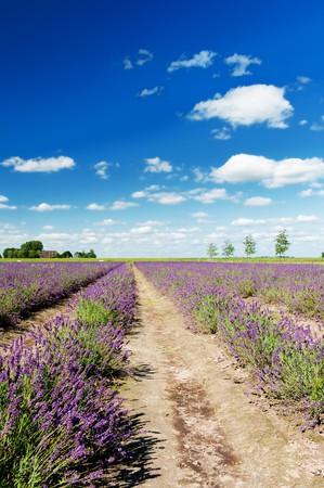 Dutch landscape in the Flevopolder with Lavender in the fields photo