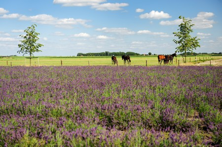 Horses in Dutch flat landscape behind the Lavender fields Stock Photo - 7541800