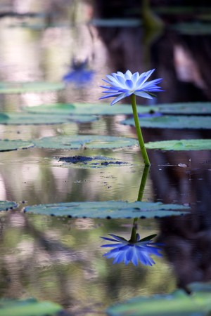egyptian lily: Mangrove water with beautiful blue Lotus flowers Stock Photo