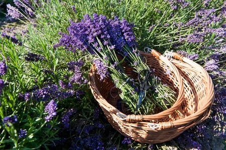 Picking Lavender in the fields and collect them in a cane basket Stock Photo - 7541857