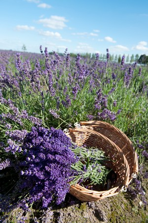 Picking Lavender in the fields and collect them in a cane basket Stock Photo - 7541744