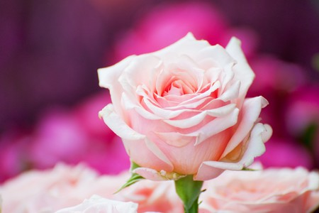 Bouquet of pink roses with one above Stock Photo - 7541474