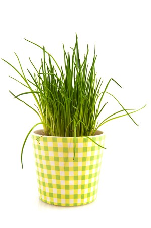 Fresh chive herbs plant in checked pot photo