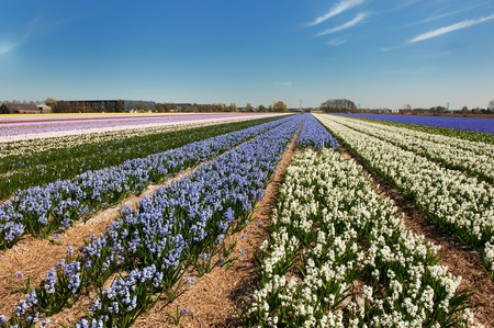 lisse: Dutch landscape in Lisse with flower bulbs in purple and pink