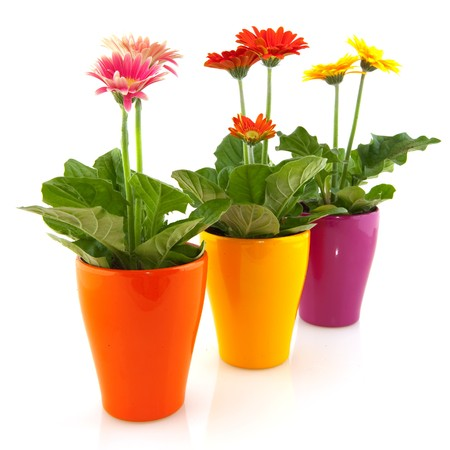 Colorful  Gerber plants in flower pots isolated over white Zdjęcie Seryjne - 7828469