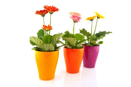 Colorful  Gerber plants in flower pots isolated over white photo