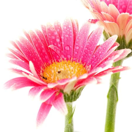 Fresh Gerber daisy flowers with water drops photo