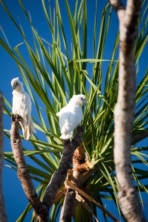 Australian tree in landscape full with white cockatoos photo