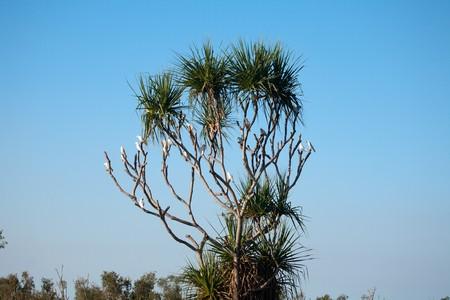 cockatoos: Albero australiano nel paesaggio pieno con Cacatua