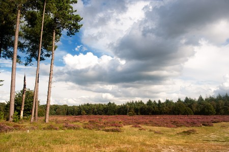 nature heather landscape with purple flowers in the fields photo