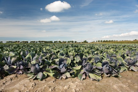 Many red cabbages in the agriculture fields Stock Photo - 7934357