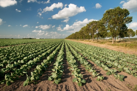 Agriculture landscape with many cabbages in the fields