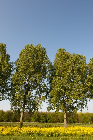 cole: Trees in vertical landscape with yellow cole seed Stock Photo