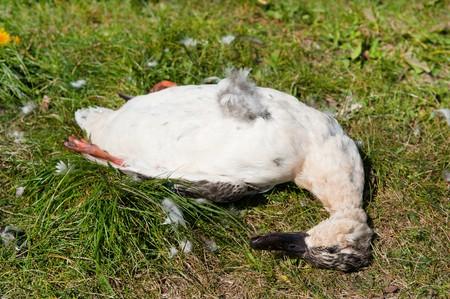 sufferer: Dead duck near the road as a traffic victim