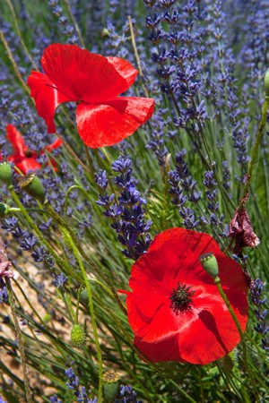 Fields with French Lavender and red Poppies in nature