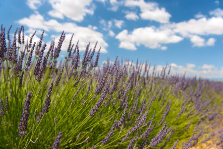 Fields with French Lavender in nature with cloudy sky Stock Photo - 8056506