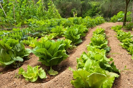 row: Growing lettuce in rows  in the vegetable garden Stock Photo