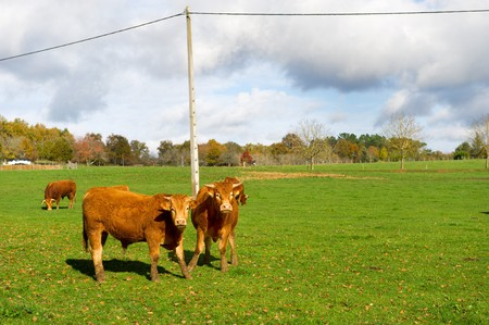 Cattle French cows in landscape at the Dordogne in France photo