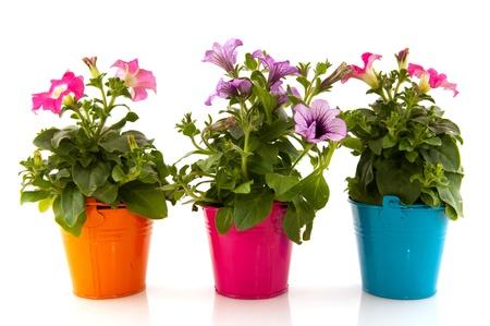 pink flower background: Colorful garden Petunia plants in flower pots