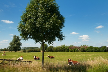 Dutch landscape with pasture and cattle cows photo