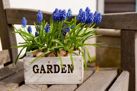 Little wooden garden crate with blue Grape Hyacinths Stock Photo