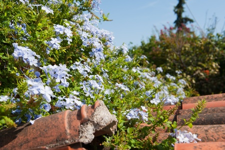 rood: Blue Jasmine flowers at the red rood Stock Photo